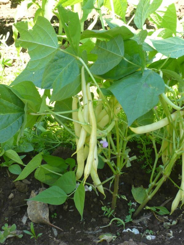 Sunland Seeds Cherokee Wax