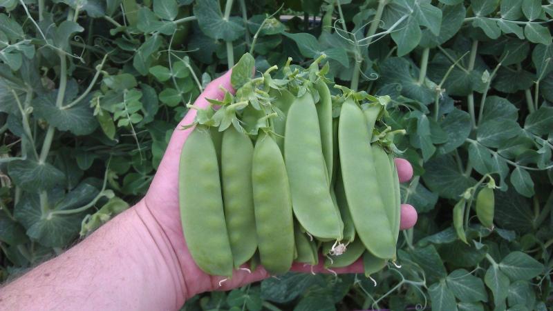 Sunland Seeds Green Devil Pbr