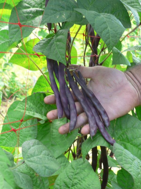 Sunland Seeds Purple King