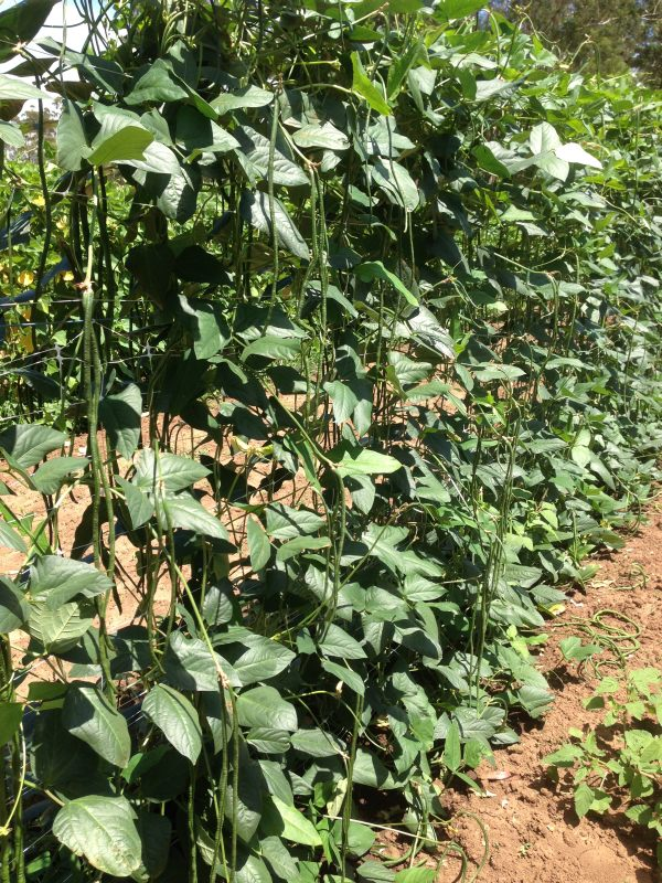 Sunland Seeds Red Dragon Snake Bean